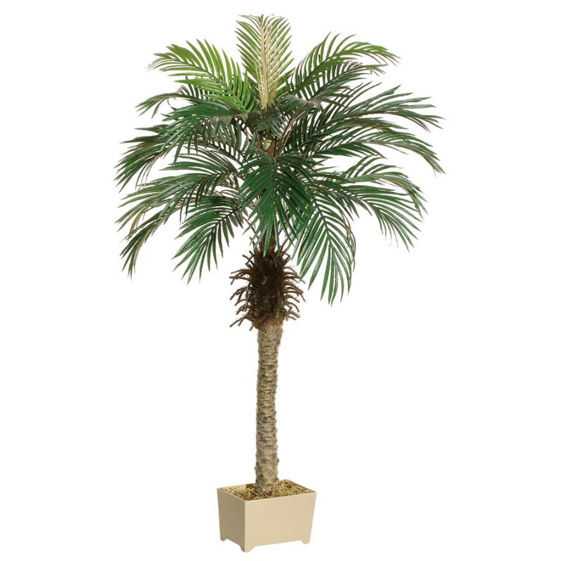 5ft. Phoenix Palm Tree